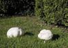 Giantpuffball