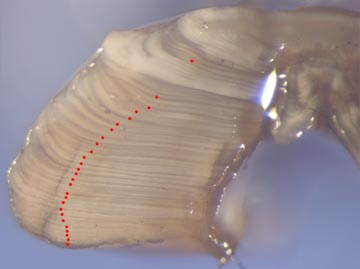 27_year_old_sablefish_cross_section